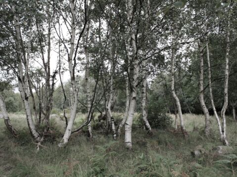Birch Trees, Kerry. September 2018